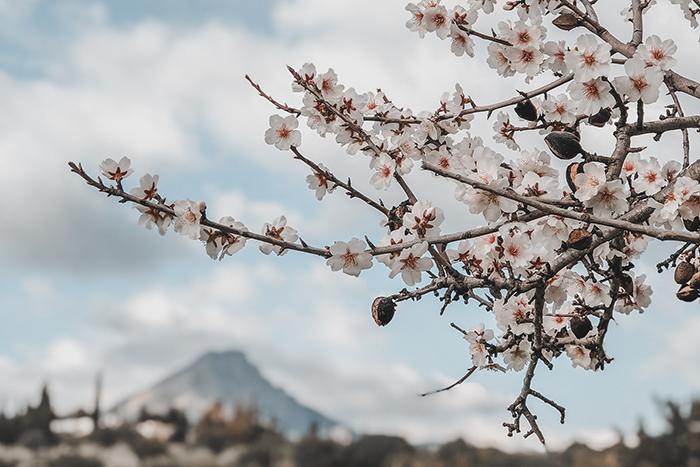 Almond blossom trees flowers Mallorca